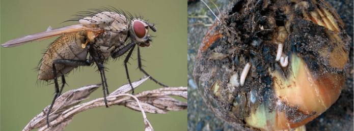 Луковая муха и её личинки