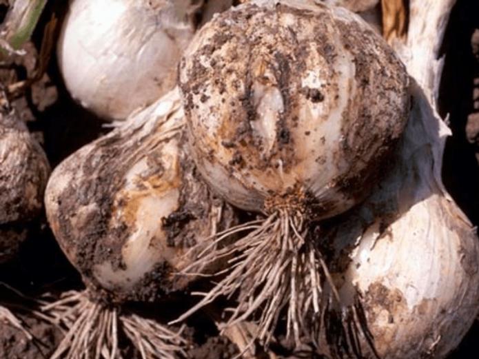 Луковицы, поражённые нематодой