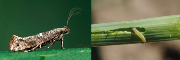 Луковая моль и её личинка