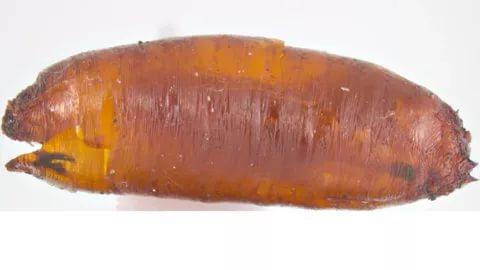 Куколка луковой мухи