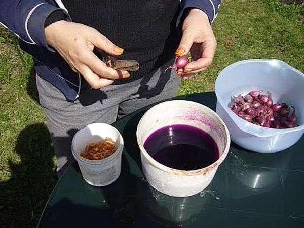 Обработка лука-севка марганцовкой
