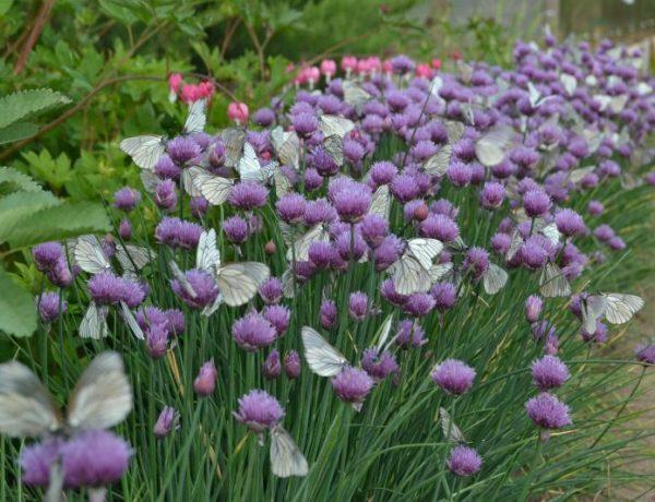 Шнитт-лук — идеальная культура для личных подсобных хозяйств