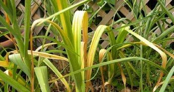 Пожелтевшие листья чеснока взывают о срочной помощи