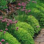 Шнитт-лук в садовом дизайне