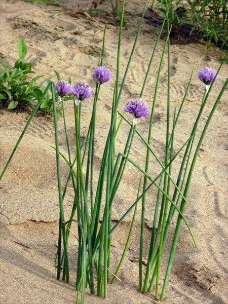 Шнитт-лук на песчаной почве