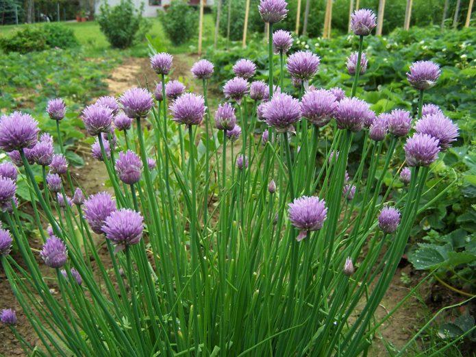 Шнитт-лук в огороде
