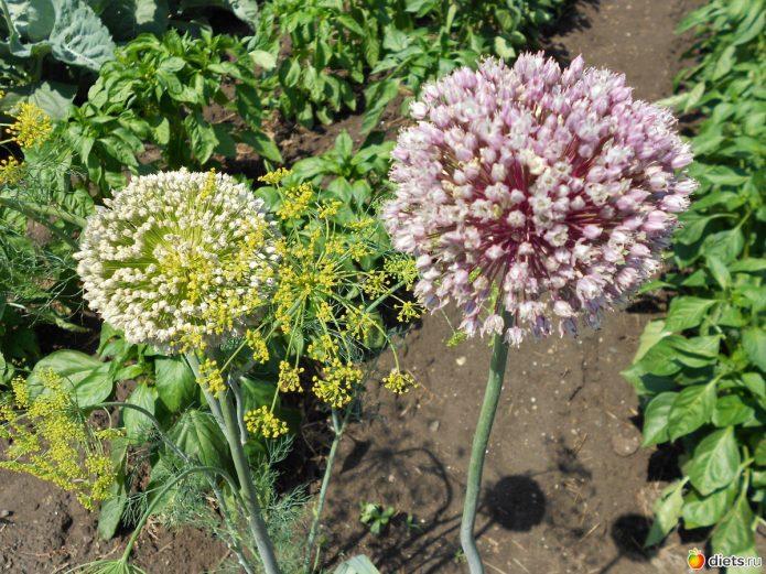 Цветущий лук-порей