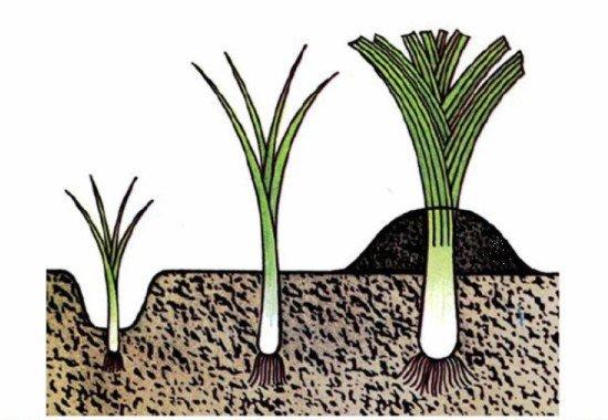 Схема посадки и выращивания лука-порея