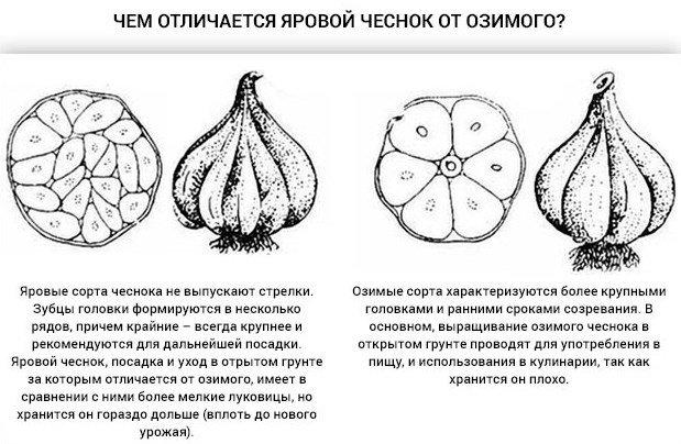 Рисунок ярового и озимого чеснока