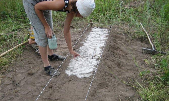 Внесение золы в грунт перед посадкой лука