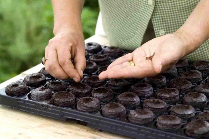 Посев капусты в торфяные таблетки