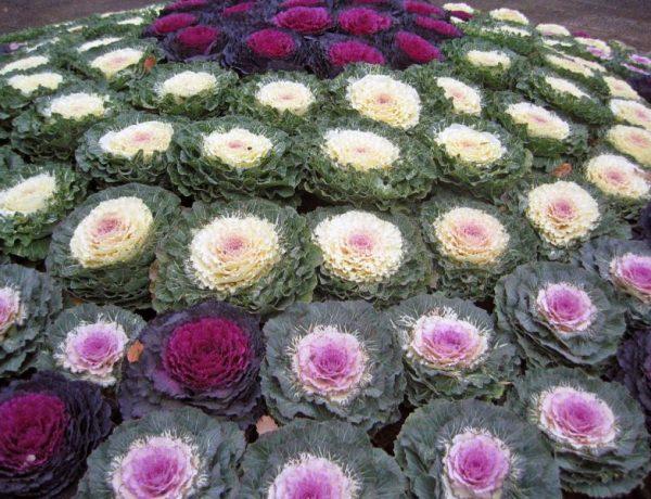 Чтобы лето не кончалось: сажаем декоративную капусту