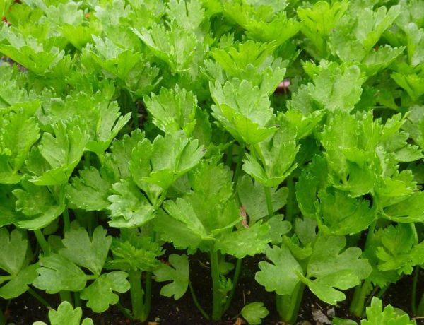 Листовой сельдерей: особенности выращивания и лучшие сорта