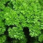 Сорт листового сельдерея Чудак