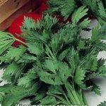 Сорт листового сельдерея Бодрость
