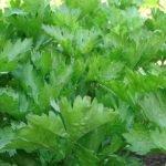Сорт листового сельдерея Картули