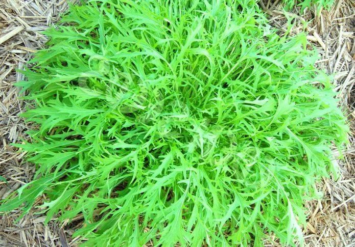 Изумрудная розетка капусты Мизуна