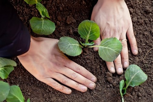 Уплотнение грунта вокруг капусты
