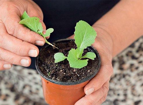 Удаление лишних ростков