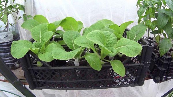 Изображение - Бизнес на выращивании пекинской капусты post_5bcec84181803
