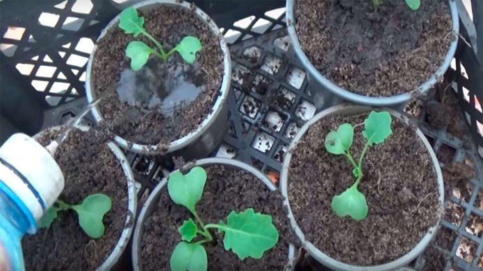 Изображение - Бизнес на выращивании пекинской капусты post_5bcf7c6c1700b-695x391