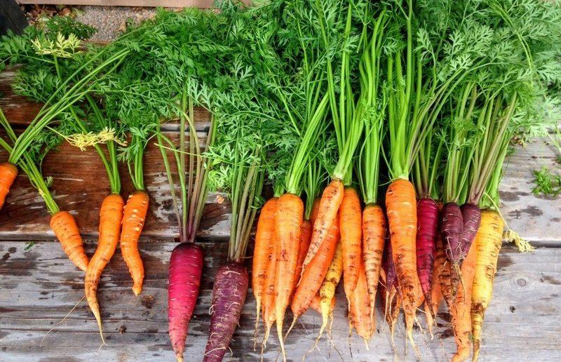 сорта моркови для выращивания в средней