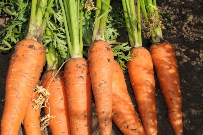 Морковь Сахарная королева