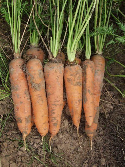 Сорт моркови Осенний король