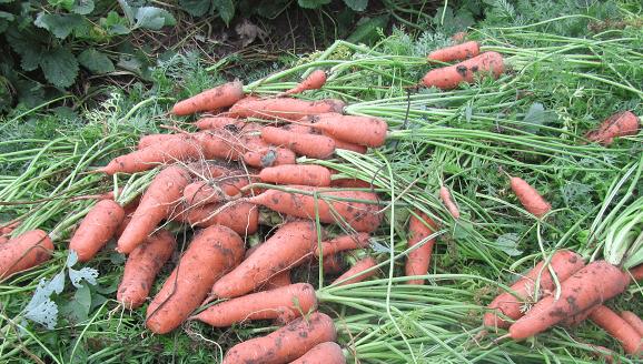 Урожай моркови в северо-западных регионах России