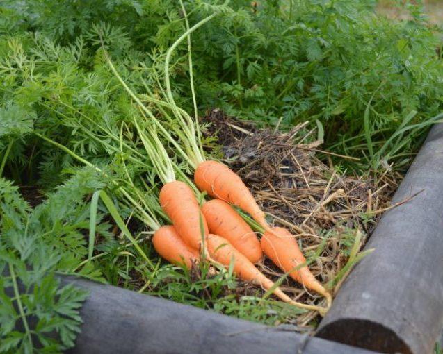 Урожай моркови из-под мульчи