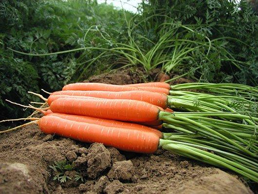 Морковь Ниагара