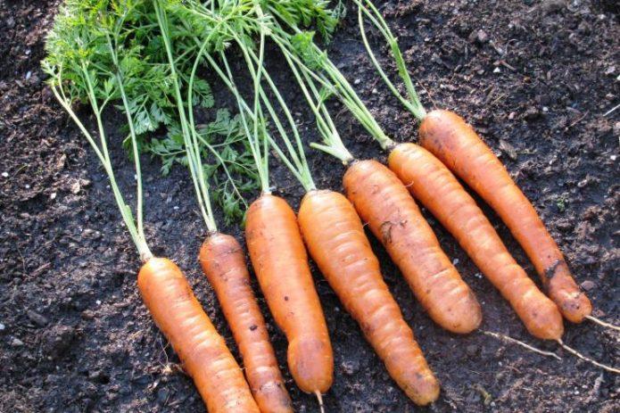 Морковь Ройал Форте
