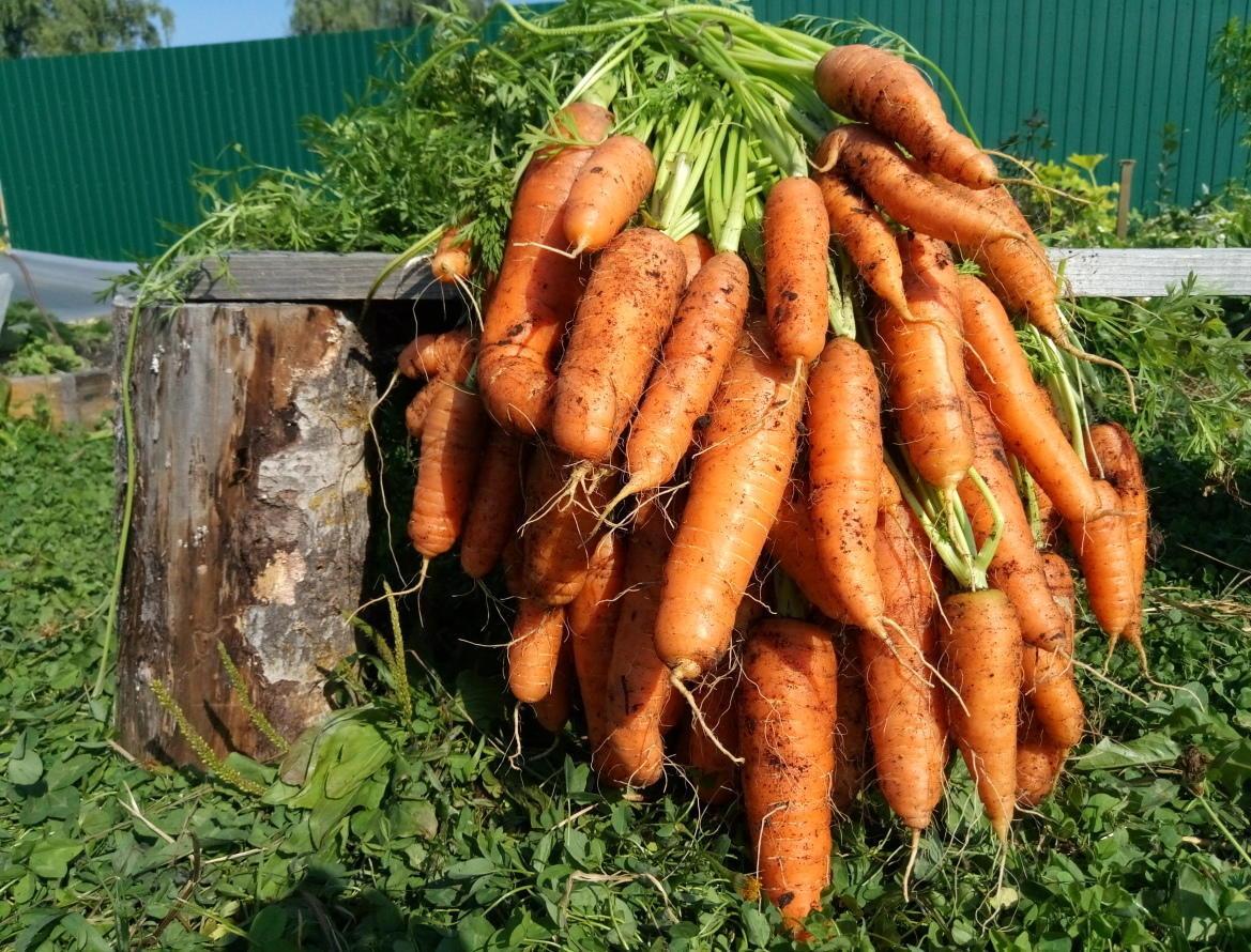 Морковь которую сильно поливали фото