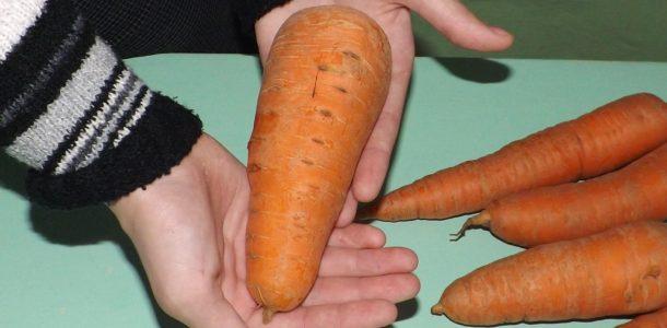Морковь Московская зимняя 515