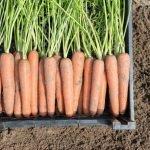 Морковь сорт Монанта