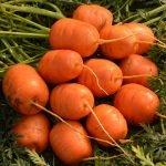 Морковь сорт Каротель парижская