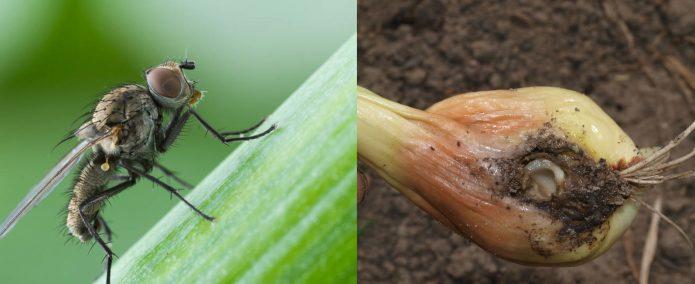 Луковая муха и лук, повреждённый этим вредителем