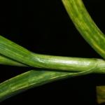 Жёлтая карликовость на листьях чеснока