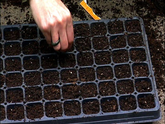 Посев капусты в кассету