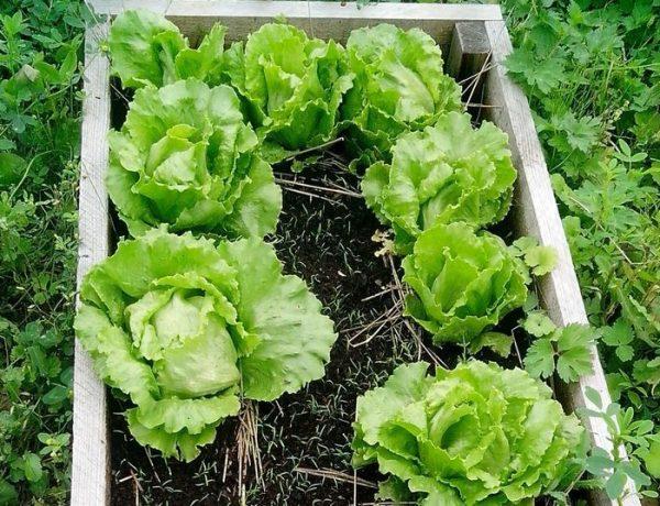Как и где выращивают листовой салат