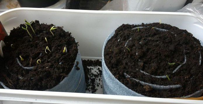 Выращивание рассады капусты в улитке