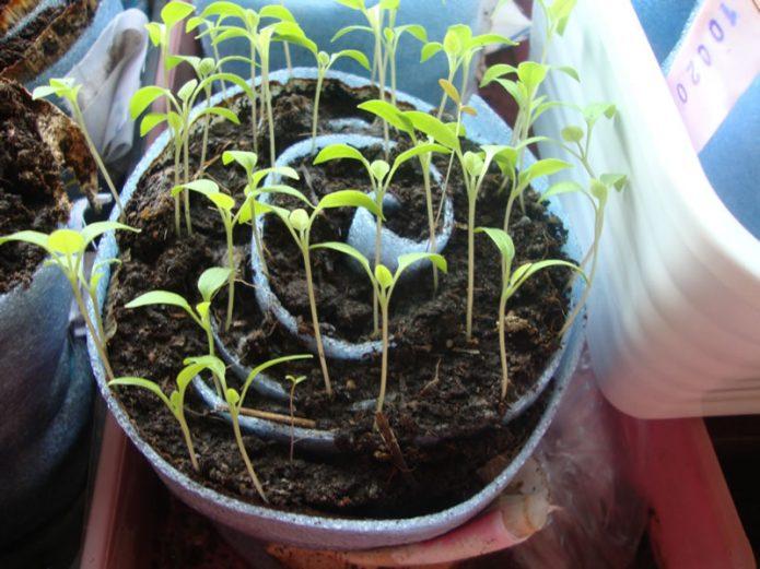 Подросшая рассада капусты в улитке