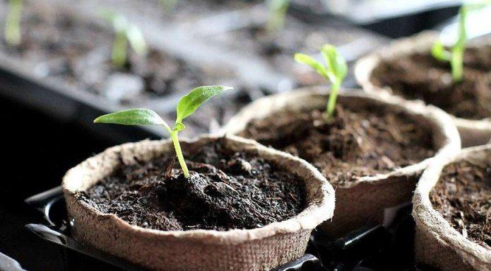 Всходы из семян болгарского перца