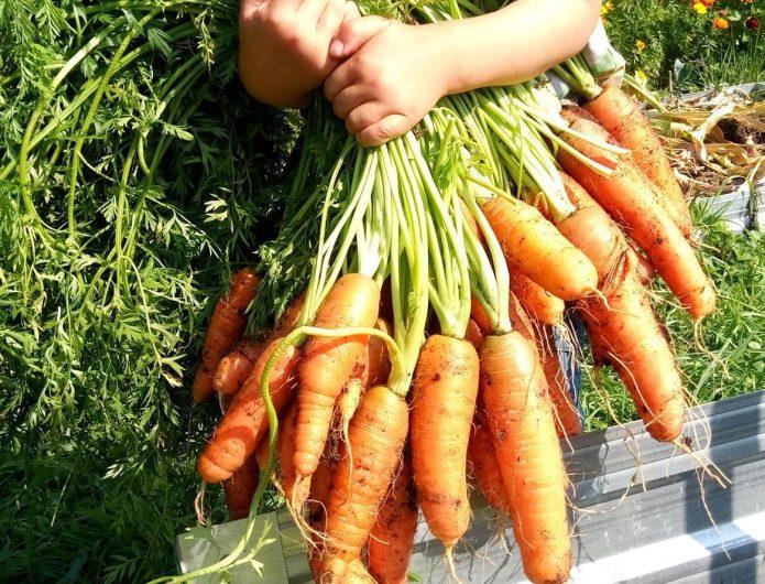 Урожай моркови в сентябре