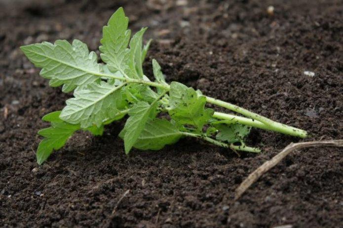 Высадка рассады томата