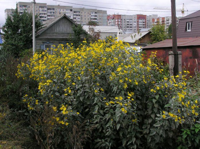 Топинамбур под забором