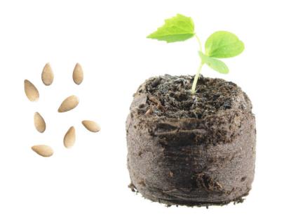 Семена и сеянец мелотрии