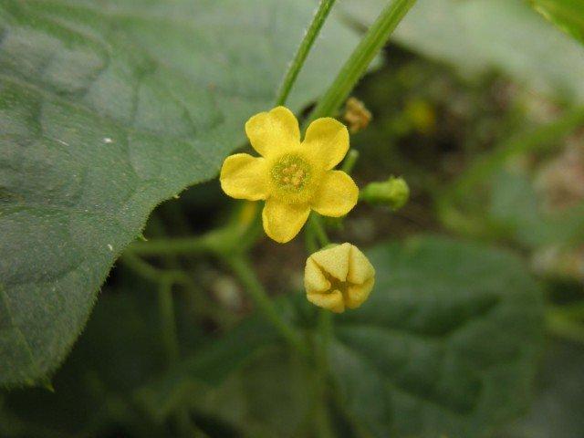 Мужские цветы мелотрии