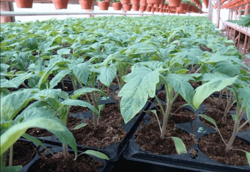 Рассада штамбовых томатов