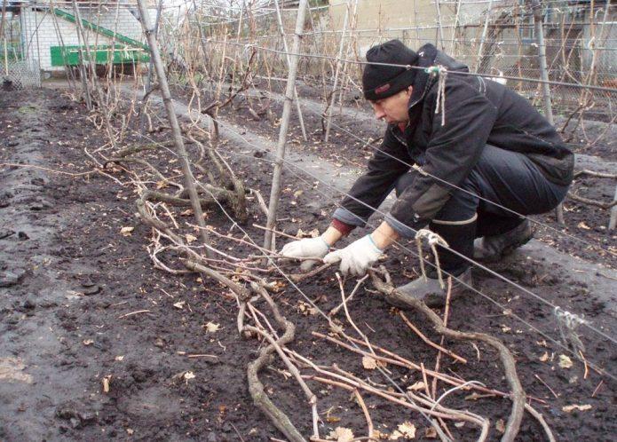 Виноградная лоза после снятия укрытия